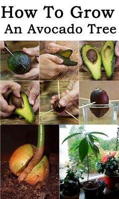 How To Grow An Avocado Tree | Topideas.atlas-adventures.com