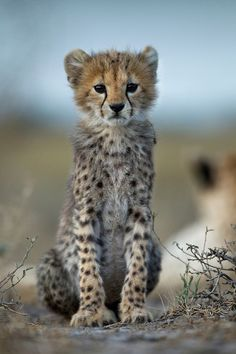Tanzania, Ngorongoro Conservation Area, Ndutu Plains, Young Cheetah Cub (Acinonyx jubatas) sitting at dusk on savanna by Paul Souders