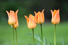 Tulip Orange emperor 2016