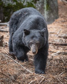 The Look--Black bear