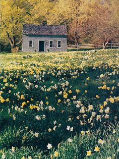 11 the years of autumn planting and winter waiting become springs filled with daffodils a sea of beautiful gold and white daffodils fandeluxe Image collections