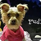 Castaic, CA - Poodle (Miniature)/Terrier (Unknown Type, Medium) Mix. Meet Tudy, a for adoption. http://www.adoptapet.com/pet/13215210-castaic-california-poodle-miniature-mix