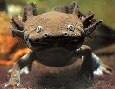 Axolotl (Ambystoma mexicanum)- what a cutie