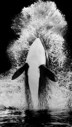 Orca  in black&white