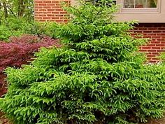 DIY Network experts offer 17 plant varieties and the planting information for each zone. Picture: Dwarf Norway Spruce