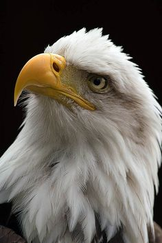 "de-preciated: ""Eagle (by lecutusuk) Average life span in the wild:Up to 28 years Size: Body, 34 to 43 in to 109 cm); Wingspan, 6 to 8 ft to m) Weight: to 14 lbs to kg) The bald eagle, with its snowy-feathered (not bald) head. The Eagles, Types Of Eagles, Bald Eagles, Photo Animaliere, Photo Chat, Nature Animals, Animals And Pets, Cute Animals, Photo Aigle"