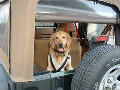 jeep dog, golden retriever