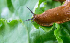 Bei Schnecken-Befall im Garten sieht jeder Gärtner rot, denn Schnecken können innerhalb kürzester Zeit ein Beet mit zarten Jungpflanzen und jungen Staudentrieben vernichten. Doch dagegen gibt es Ferramol Schneckenkorn – mit einem Wirkstoff, wie er auch in der Natur vorkommt.