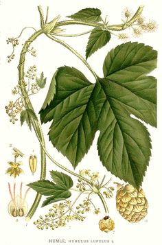 Humulus lupulus - Hops Hypnotic, mild sedative, spasmolytic, oestrogen modulating, anaphrodisiac (Male). SLEEP MAINTENANCE