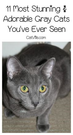 Love gray cats as much as we do? Check out 11 of the most stunning & adorable kitties ever!