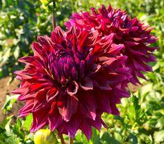 Dahlia Zorro - The Rainy Day Gardener: Swan Island Dahlia Festival
