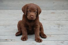 Chocolate labs are the best.