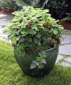 Raspberries will grow happily in a container on your patio. Great idea for any vine berries- will keep them from completely taking over.