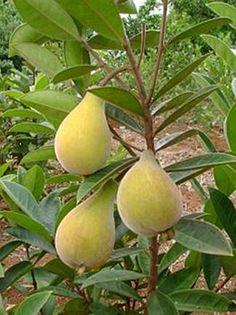 Perinha do campo - eugenia klotzschiana-  Frutifica nos meses de Dezembro a Janeiro. Os frutos são consumidos preferencialmente na forma de sucos com leite ou usados para fazer sorvetes, bolos e geléias.