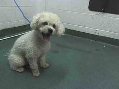 HANK (A1645377) I am a male white Poodle - Miniature and Maltese.  The shelter staff think I am about 4 years old.  I was found as a stray and I may be available for adoption on 09/23/2014. —  Miami Dade County Animal Services. https://www.facebook.com/urgentdogsofmiami/photos/pb.191859757515102.-2207520000.1411328507./841388029228935/?type=3&theater