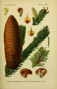 img / drawings trees shrubs / trees and shrubs 0095 drawings Nordmann fir - abies nordmanniana.jpg