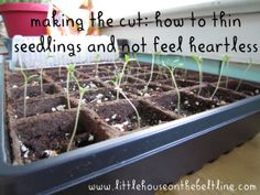 making the cut :how to thin seedlings and not feel heartless! Talks about how to tell which seedlings are the strongest