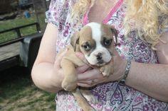 Olde English Bulldogge, Puppies For Sale, Windsor, French Bulldog, Dogs, Animals, Animales, Animaux, French Bulldog Shedding