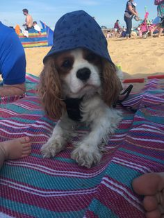 Summer the Cavalier King Charles on her first trip the beach in Norfolk