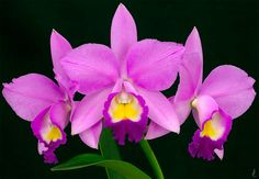Orchid: Cattleya; by j.lacerda
