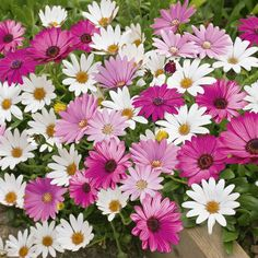 African Daisies or Cape Daisies