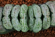 Haworthia truncata R-2 Green Pattern    plant not bonsai ariocarpus agave cactus