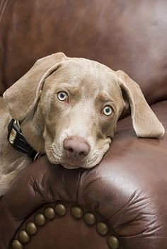 Definition of WEIMARANER : any of a breed of large light gray usually short-haired pointers of German origin Beautiful Dogs, Animals Beautiful, Cute Animals, Baby Dogs, Dogs And Puppies, Doggies, I Love Dogs, Cute Dogs, Weimaraner Puppies
