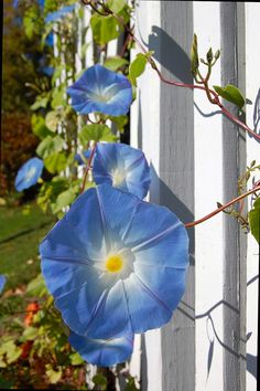 Flower Photography Blue Morning Glory Nature by JLMPHOTOGRAPHS