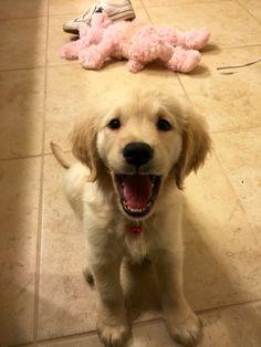 Golden retriever puppy Clera