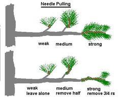 Pinus parviflora/Japanese White Pine Bonsai Progression Series by ...