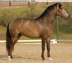 Lusitano - stallion Zigue-Zague do Vouga