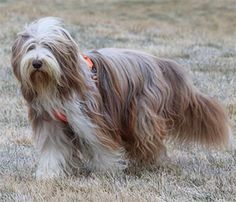 Bearded Collie - First breed to play Nana in the Original Peter Pan Play
