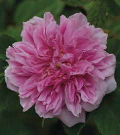 Rosa majalis plena AKA Rosa cinnamomea plena