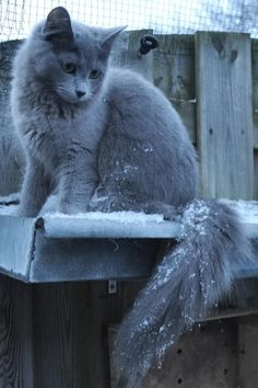 I want a Nebelung so badly, even though I know they're not the most social >>> Gorgeous Nebelung kitten