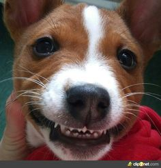 How can you not smile when you see this little Basenji puppy?