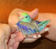 A Parrotlet Breeder with FIVE different types of Parrotlets.