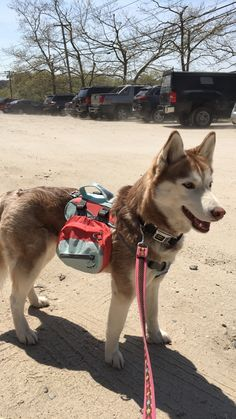 My Siberian Husky and her new back pack ready to go hiking (x-post)