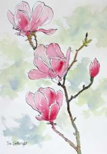 Pink Magnolias flower pen and ink and watercolor wash