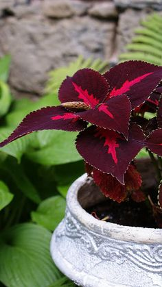 Houseplants for Better Sleep Coleus - Deep Burgundy Flower Planters, Flower Pots, Hanging Plants Outdoor, Shade Garden Plants, Beautiful Home Gardens, Colorful Plants, Horticulture, Trees To Plant, Houseplants
