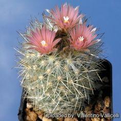 Escobaria organensis