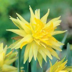 Humphreys Garden Narcissus Rip Van Winkle x 30 Bulbs Size 8//10