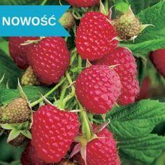 Malina Poemat Strawberry, Fruit, Strawberry Fruit, Strawberries, Strawberry Plant