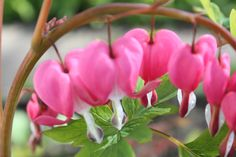 My Bleeding Hearts are out in full force already this year! I love these flowers!