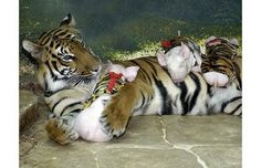 Tiger mothering baby piglets. Awww