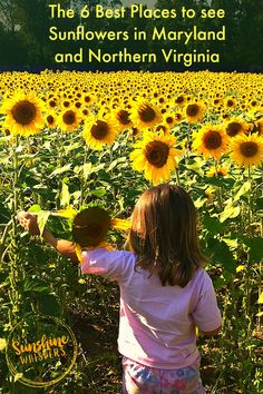 This really is THE definitive list for where and when to see sunflowers in the greater Baltimore-DC Area.