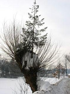 http://drzewa.nk4.netmark.pl/zasoby/atlas/swierk/swierk_pospolity/swierk_pospolity_991.jpg