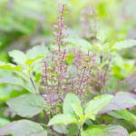 Holy basil or tulsi is a sacred plant in India similar to our basil. Learn more about its potential benefits and how to cook with holy basil.