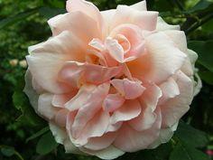 Paul Ledé offre de superbes nuances qui s'expriment mieux en l'absence de grand soleil, une exposition lumineuse lui suffit. Ses lourdes fleurs allégées par des pétales pointus passent du jaune paille au crème qu'un léger voile rose vient ombrer sur la fin. C'est un généreux rosier grimpant, remontant, au parfum de rose thé, au feuillage sain et solide. Thé, Lowe, 1913.