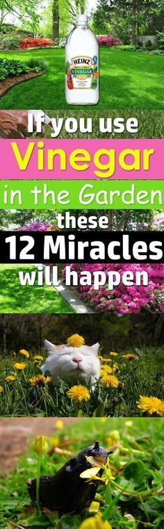 If you Use Vinegar in the Garden these 12 Miracles will Happen