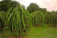 Mersinli tropikal meyve